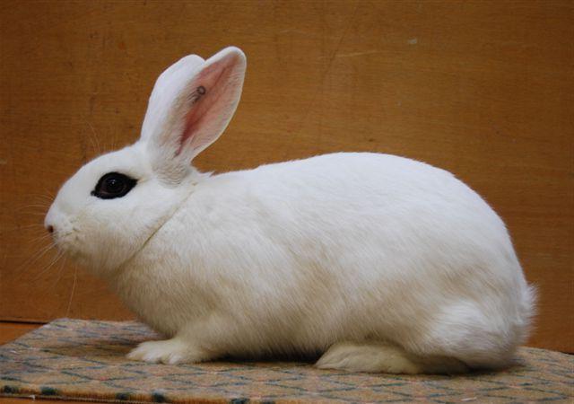 Afbeeldingsresultaat voor witte van hotot konijn